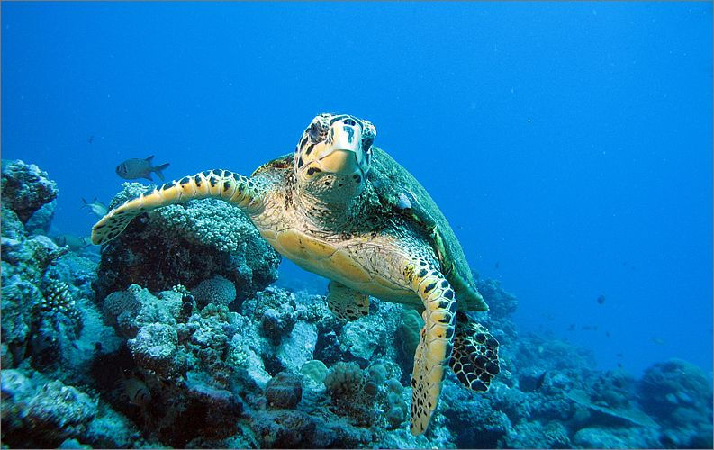 St. Regis Mauritius Resort Watersports, Worldclass Diving sea turtle